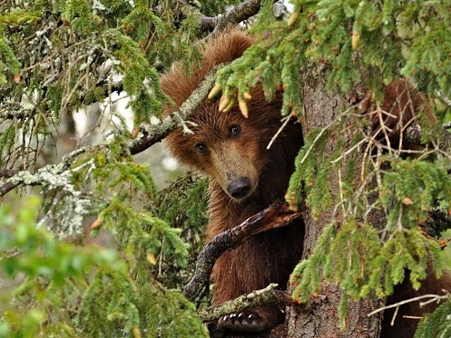 Bear- Little Red Bear Hiding in Tree