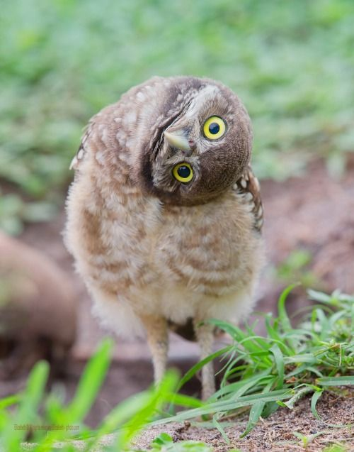 """Howdy!"" -- the Burrowing Owl"