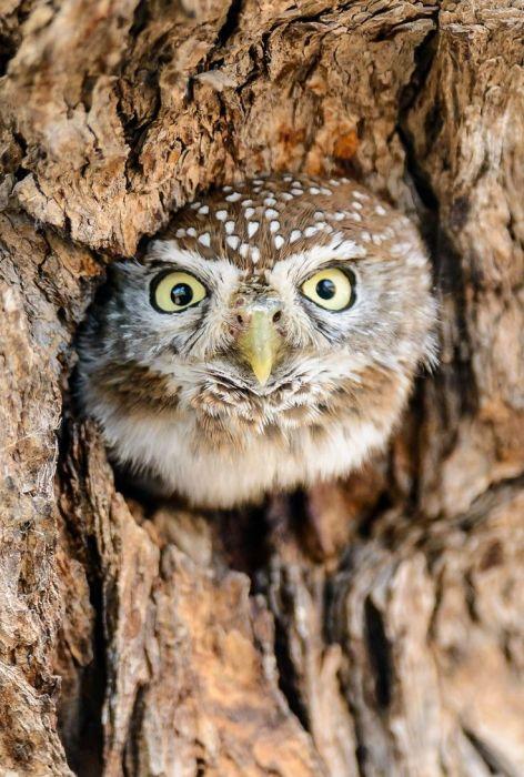 Burrowing Owl- Pinterest- found on tumblr unidentified