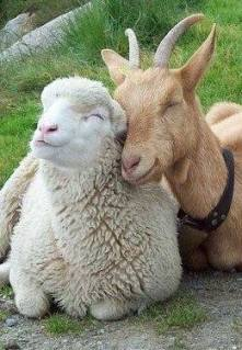 Goat and Sheep Buddies from Sunflower Rag Works, not credited maybe