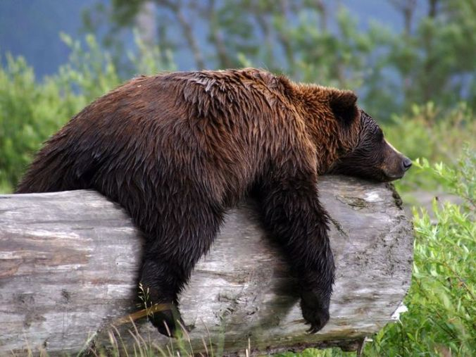 Sleeping Brown Bear, Pinterest Natilonal Geographic Society, uncredited