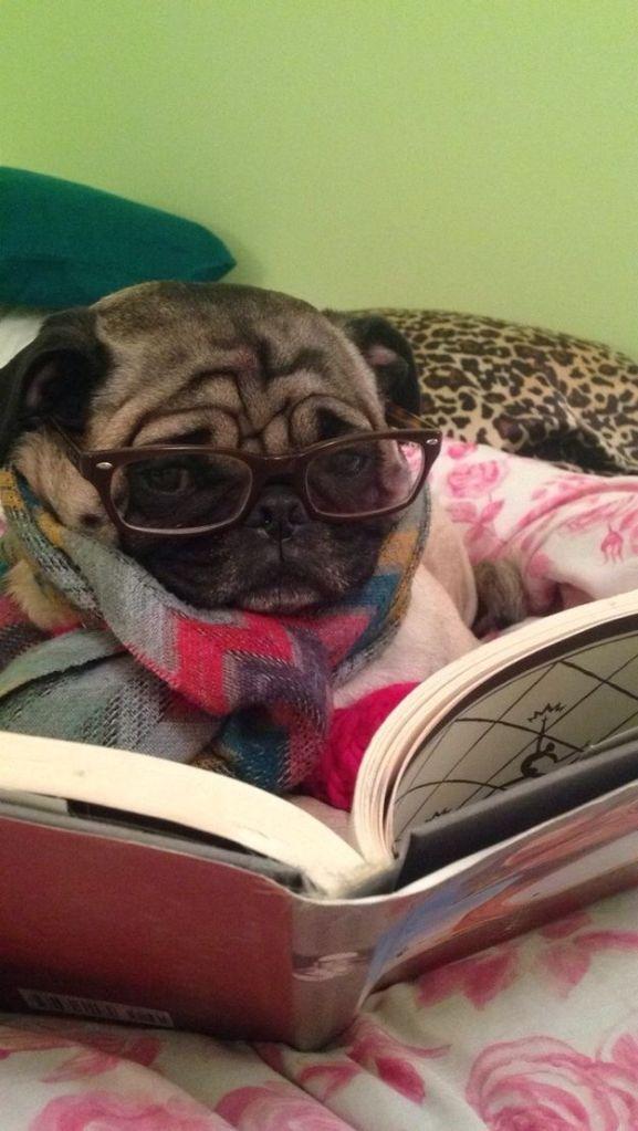 Dog- Reading 4 Pug