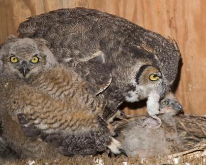 Great Horned Owl feeding Nestlings
