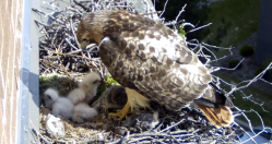 Red-tailed Hawk and Hatchlings