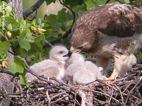 Red-tailed Hawk Feeding Nestlings