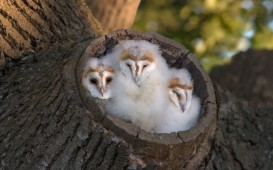 An overprotective mum appears to have literally wrapped her offspring in cotton wool in these stunning pictures. The adorable trio were spotted snoozing in their fluffy bed in Saxumundham, Suffolk...Photographer Paul Sawer took this adorable shot after spotting the young barn owls close to his home. SEE OUR COPY FOR DETAILS...Pictured: MAIN IMAGE: The three Barn Owl chicks, at the entrance to their nest in tree stump, waiting for parents return with food, Suffolk, England. This image was taken of them back at the start of June...Paul Sawer/FLPA/Solent News.. Paul Sawer/FLPA/Solent News & Photo Agency.UK +44 (0) 2380 458800.
