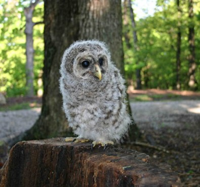 Young Barred Owl