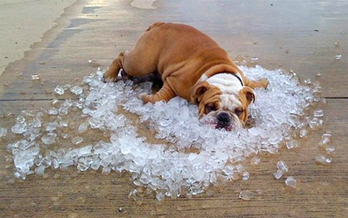 Dog- Funny- Bulldog On Ice Cubes