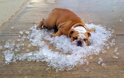Dog- Funny- Bulldog On Ice Cubes
