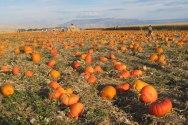 Pumpkin Patch- Studts Pumpkin Patch. (StudtsPumpkinPatchandCornMaze.com)