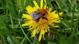 Bee on Yellow Dandelion Flower from Sylva Fae, 05-04-2015