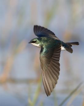 Tree Swallow by Ronald Bielefeld, via The Audubon Society