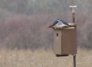 Tree Swallow Nest Box via the Tree Swallow Project