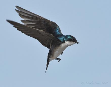 Tree Swallow in Flight, via Pinterest uncredited
