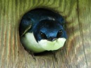 Tree Swallow via The Carolina Bird Club