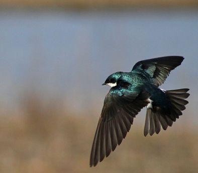 Tree Swallow via Wikimedia Commons