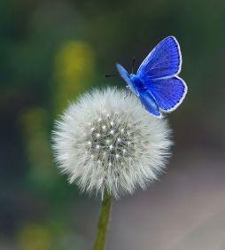 Butterfly- Blue Butterfly on a Dandelion