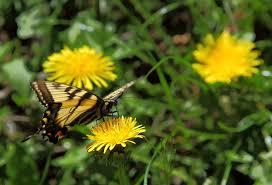 Butterfly- Spring Butterfly on a Dandelion, ForestWander.com
