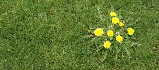 Dandelion in Yard, via Gabris Landscaping, Springfield, MO