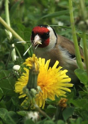 Dandelion with Bird, via Nurturing-Nature.co.UK