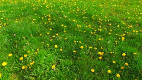 Dandelions- Aerial View of Green Field of Grass