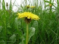 Dandelions via Edible Wild Foods