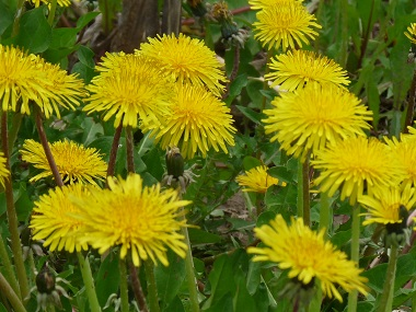 Dandelions via Edible Wild Foods