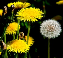 Dandelions via Tactical Intelligence