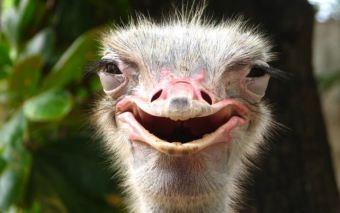 Ostrich- Happy, via Google uncredited 1