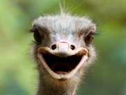 Ostrich- Happy, via Google uncredited 3