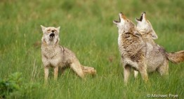 Coyotes Howling by Michael Frye Photography (2)