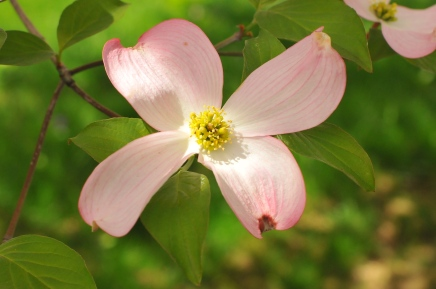 Dogwood- Pinterest uncredited 2