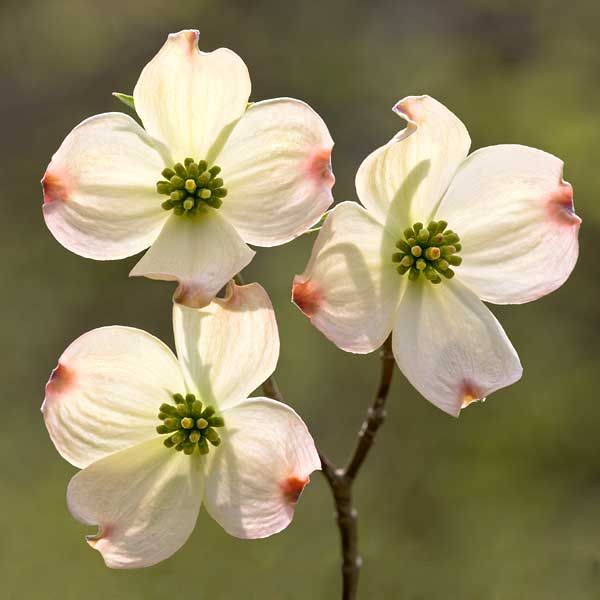 photo regarding Legend of the Dogwood Tree Printable called Mother nature Article content James Milson - Creating Elements