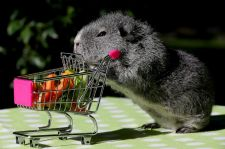 Guinea Pig with Grocery Cart via ABC News- Go.com