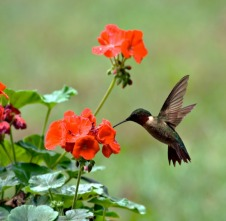 Male ruby-throated hummingbird feeding on a geranium flower, via TheHomeSchoolScientist.com