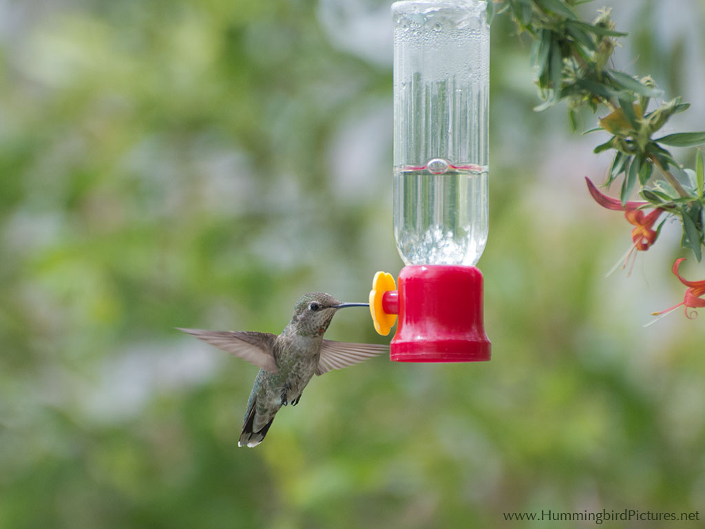 a personal recount about feeding hummingbirds Hummingbirds will remember and return to disconcertingly large personal vehicle seen identify what they are eating and how frequently they feed.