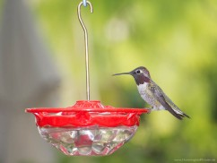 Small Dish Hummingbird Feeder - via HummingbirdPictures.net