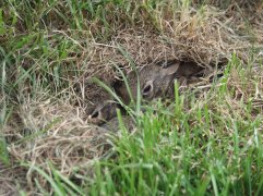 Rabbit Nest in Yard 1 via Google uncredited