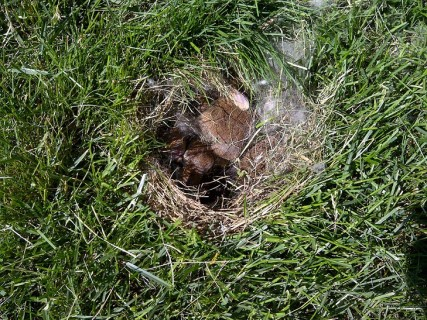 Rabbit Nest in Yard 2 via Google Uncredited