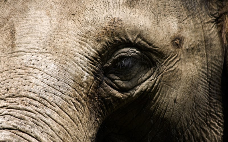 Elephant - An Old Elephant With Wisdom In Its Eyes. Via ChiildFun.com